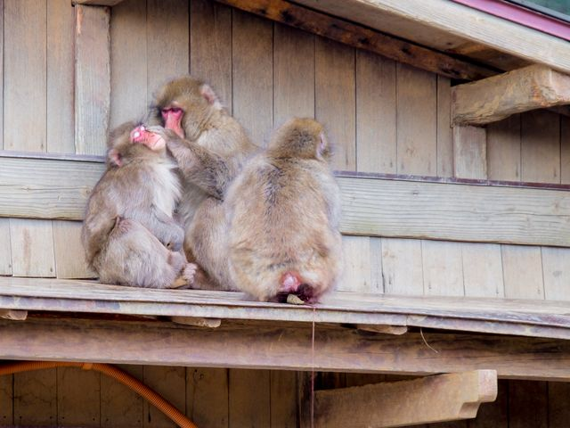 monkey hygine, Iwatayama Monkey Park