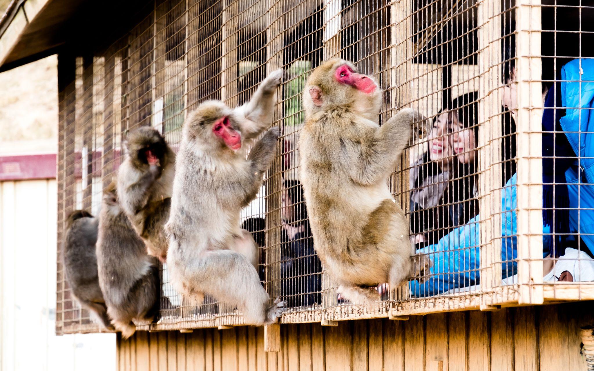 cage for humans, Iwatayama Monkey Park