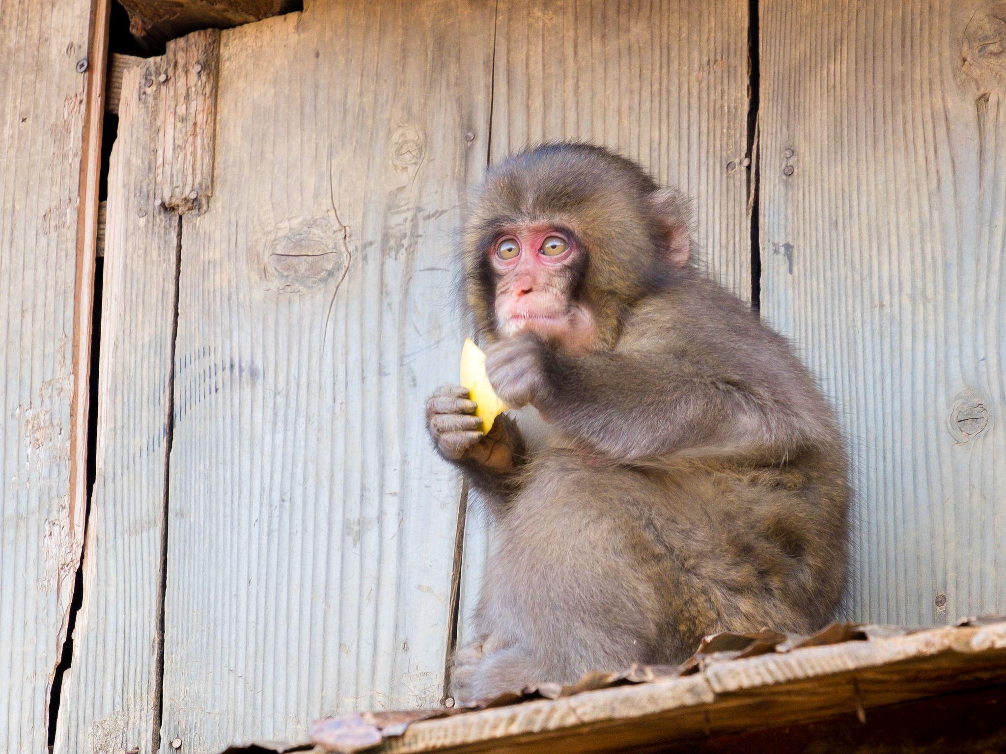 kid monkey, Iwatayama Monkey Park