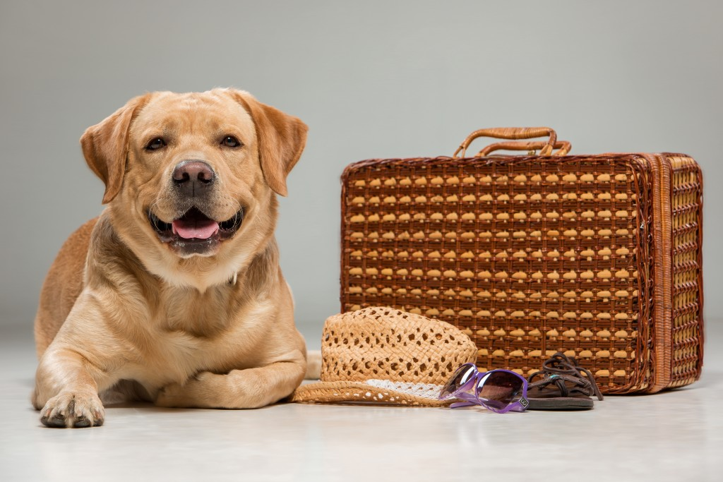Labrador with the suitcase isolated on a gray background