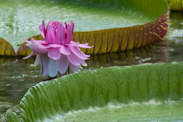 Victoria Amazonica at the Pamplemousses Gardens on Mauritius