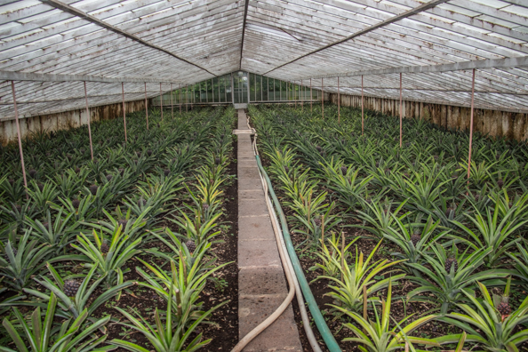 A. Arruda Pineapple Plantation on São Miguel in the Azores