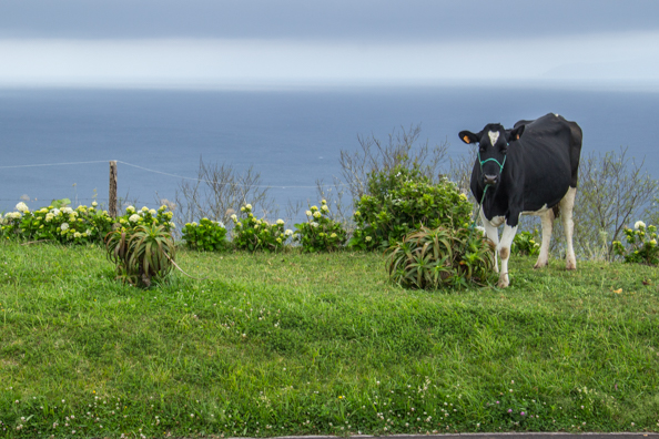 Cheese is produced from the milk of the Holstein Friesian cows in the Azores