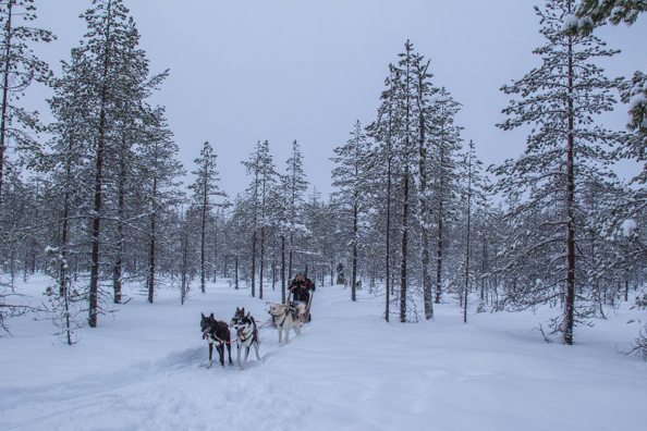 Husky Sledding in the Wild Taiga in Finland