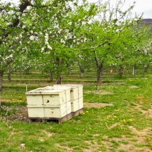 Bee Hives_UteChambers-cropped