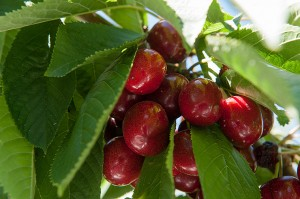 WSUCherries