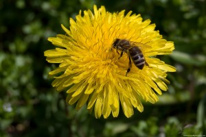bee-on-dandelion-freebigpictures-com