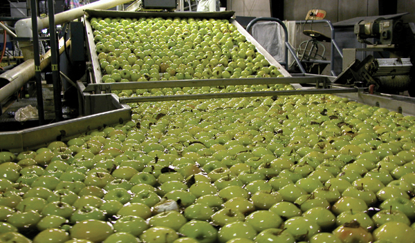 Apples from field bins are dumped into the water tank: the first step in the packing and sorting process.