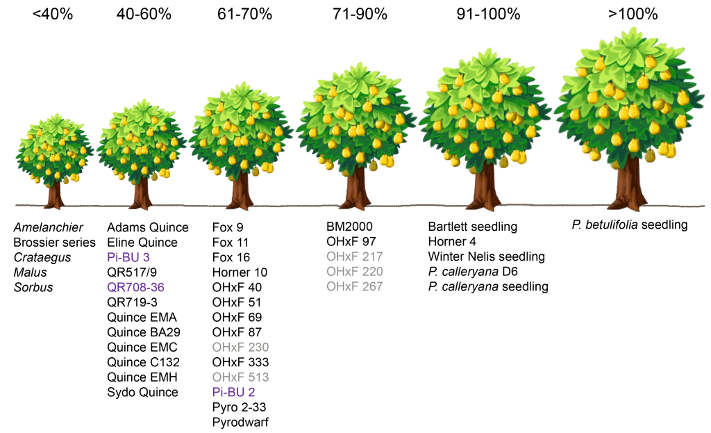 The graphic above illustrates the overall influence on tree size* by various rootstock combinations compared to a Pyrus pear seedling. Key to abbreviations and names: BM = P. communis series from Australia; Brossier = P. nivalis series from Angers, France; Fox = P. communis series from the University of Bologna in Italy; Horner = OHxF clonal series from D. Horner (Oregon nurseryman) and selections by OSU-MCAREC; OHxF = 'Old Home x Farmingdale' series; Pi-BU = Pyrus series from Germany; Pyro and Pyrodwarf = P. communis selections from Germany; QR = P. communis selections; 'Adams', 'BA29', 'EMC', 'EMH', 'Sydo' = Quince dwarfing rootstocks (require interstem for most pear cultivars). Selections shown in gray text indicate antiquated selections no longer in commercial production. Selections shown in purple text indicate possible susceptibility to pear decline. *This general classification of tree size may vary for different cultivars due to cultivar/rootstock interactions. This graphic was adapted from the article by Elkins, Bell & Einhorn, 2012, J. Amer. Pomol. Soc. 66(3):153-163.