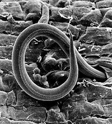 Root Knot Nematode (source: wikipedia.org)