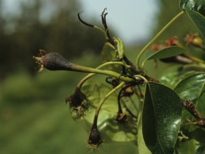Fireblight symptoms on pear