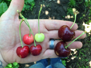 Little Cherry Virus 2 produces cherries of small size and poor color and flavor. Photo credit Andrea Bixby Brosi, WSU.