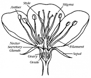 Basic flower anatomy including style.