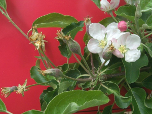 Side blooms above are a key site of infection.