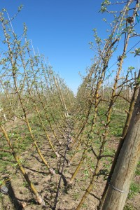 WA 38 in a European V system at WSU's ROZA orchard in Prosser.