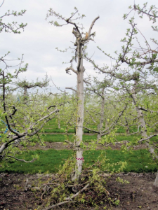 This Manchurian crabapple was pruned quickly using a chainsaw. Photo courtesy Richard Kim.