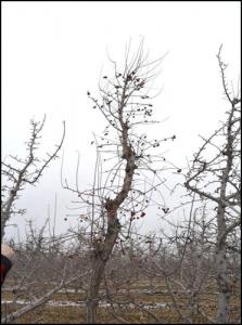 pruned crabapple