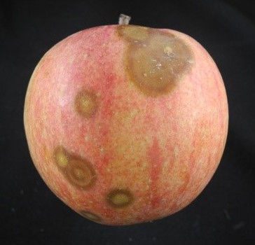 Fig. 2 Bull's-eye rot on Gala. Photo by Christian Aguilar.