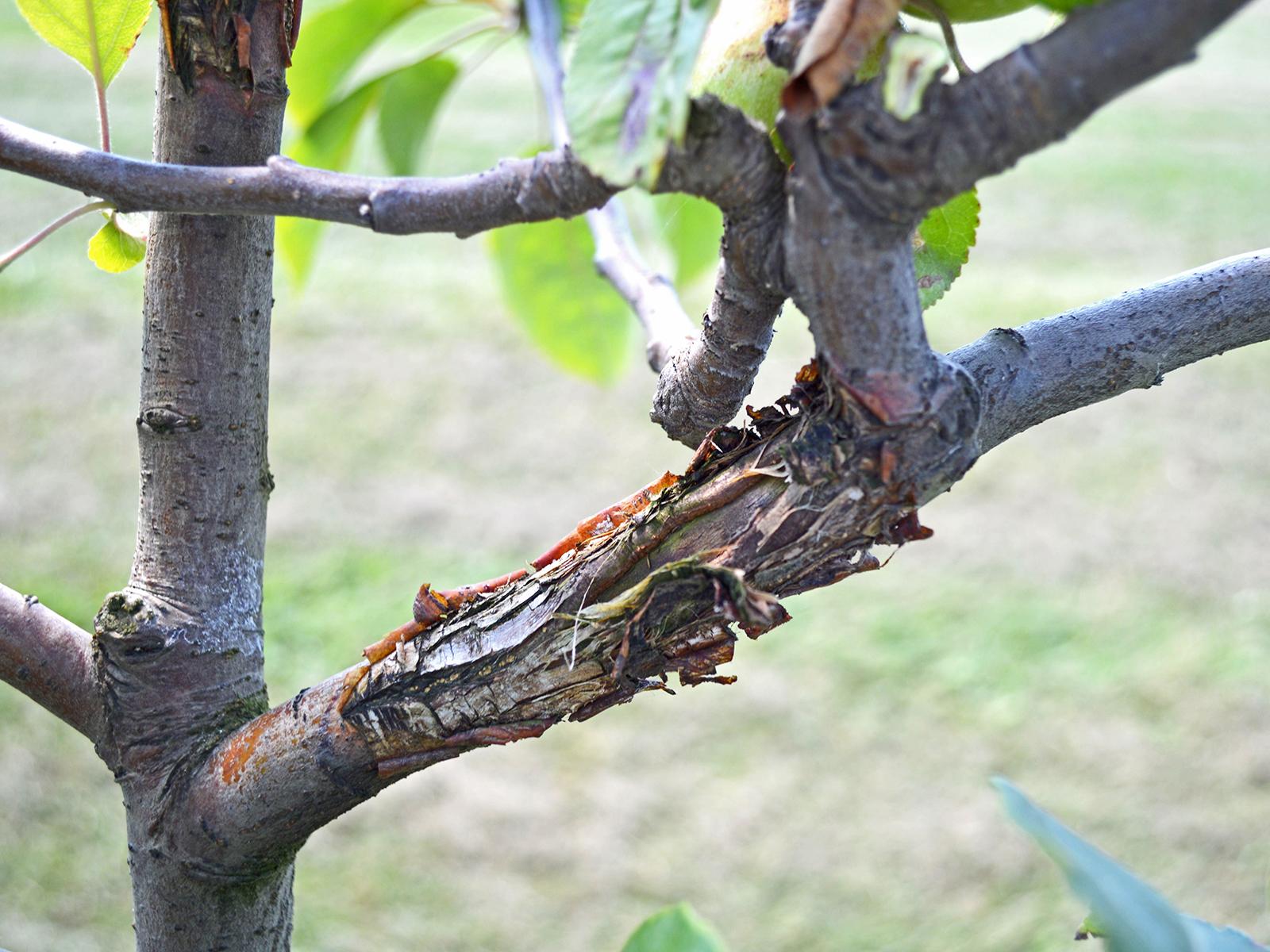 Apple Anthracnose | WSU Tree Fruit | Washington State ...