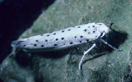 Apple ermine moth adult (E. Beers)