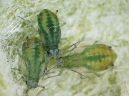 Apple grain aphids (E. Beers)