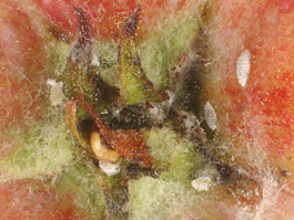 Apple mealybug in apple calyx (E. Beers, August 2007)