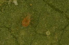 Amblydromella caudiglans adult (R. Schmidt, Jun 2012)