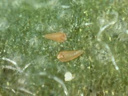 Apple rust mites (E. Beers)