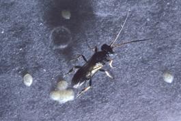 Ascogaster quadridentata adult parasitizing codling moth eggs (J. Brown)