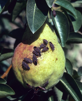 Western boxelder bug adults on pear (J. Brunner)