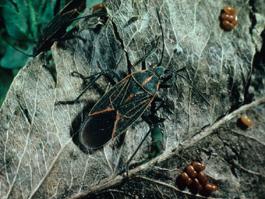 Boxelder bug adult (E. Beers)