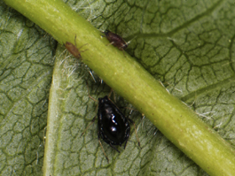 Black cherry aphid (E. Beers)