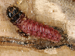 Carpenterworm larva (purple phase) (E. Beers)