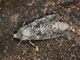 Carpenterworm female moth (E. Beers)