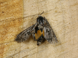Carpenterworm male moth (E. Beers)
