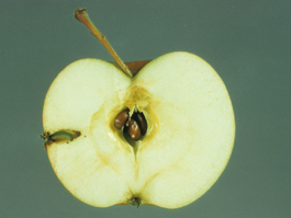 Dock sawfly larva in apple (H. Riedl)