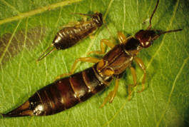 Adult and immature European earwig (J. Brunner)
