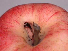 Earwig damage to apple (J. Dunley)