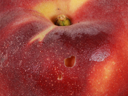 Earwig damage to peach (E. Beers, August 2007)
