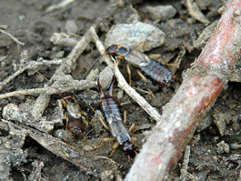 Adult earwigs in herbicide strip (apple orchard) (E. Beers, July 2007)