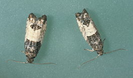 Eyespotted bud moth adults (J. Brunner)