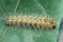 Fall webworm (J. Brunner)