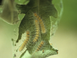 Fall webworm larvae (E. Beers, July 1992)