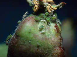 Green apple aphid feeding on fruitlet (E. Beers)