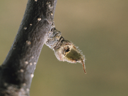Bud damage by spotted cutworm (F. Howell)