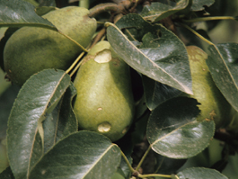 Bertha armyworm damage to pear (F. Howell)