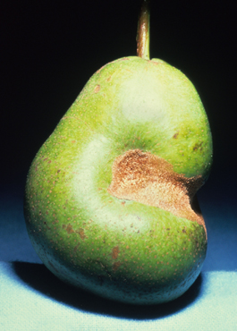 Green fruitworm feeding damage to pear (J. Brunner)