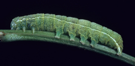 Speckled green fruitworm larva (F. Howell)