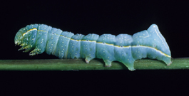 Pyramidal fruitworm larva (F. Howell)