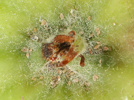 Grape mealybug in apple calyx (E. Beers, July 2007)